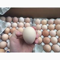 Продаю Яйцо инкубацеоное