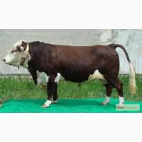 Продаем скот мясного направления Казахской белоголовой породы