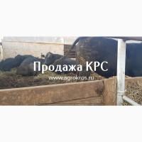 Продажа оптом по России и странам СНГ, Молочные породы КРС, Продажа племенных нетелей