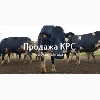 Продажа оптом по России, Молочные породы КРС, Продажа племенных нетелей