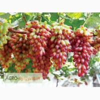 Продаю саженцы и черенки винограда повсеместно