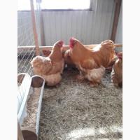 Продам цыплят брама, кохинхин, орпенгтон