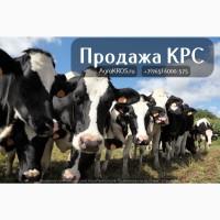 Продажа КРС по России и странам СНГ, , Продажа племеннных нетелей