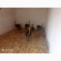 Продам страусы