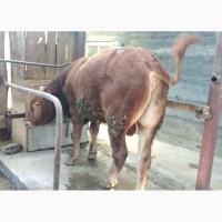 Продаю племенного, чистокровного быка крупной европейской породы - Лимузин-Дубай