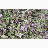 Продаю Сушеные травы Чабреца (дикорастущий) - Кыргызстан