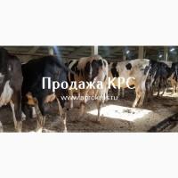 Продажа КРС по России, Молочные породы КРС