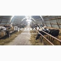 В продаже молочные нетели КРС племенные нетели