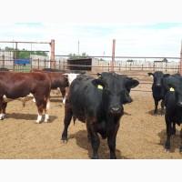 Бычки и телки мясного и молочного направления