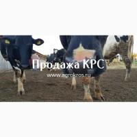 Продажа КРС оптом по России и странам СНГ, Молочные породы КРС, Продажа племенных нетелей