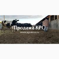 Продажа КРС оптом по России и странам СНГ, Продажа племенных нетелей