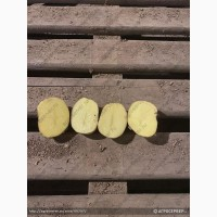Картофель оптом без посредников