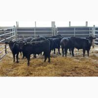 Крупный рогатый скот оптом из Европы