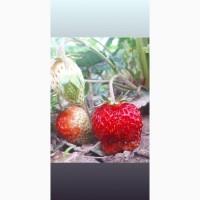 Клубника из солнечной Киргизии!Оптом экологически чистый продукт