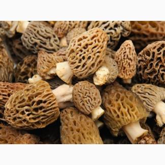 Продам грибы Сморчок конический