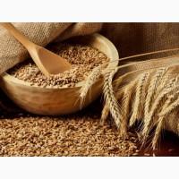 Семена озимой пшеницы, ячменя урожая 2020 г
