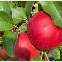 Экологически чистые, витаминные польские сорта яблок выращенные в садах Чуйской долины