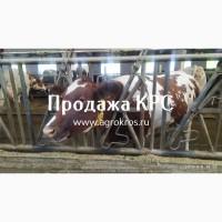 Продажа КРС по России и странам СНГ, Молочные нетели