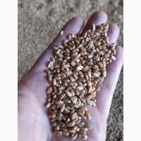 Лён, Рапс, Ячмень, Пшеница в Киргизии
