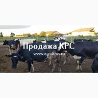Продажа КРС оптом по России странам СНГ Продажа племенных нетелей